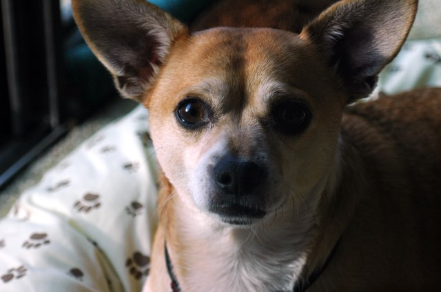 Portrait of a Chihuahua as a young dog